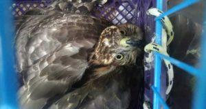 В ялтинском зоопарке «Сказка» спасают редкую крымскую птицу – краснокнижного сокола