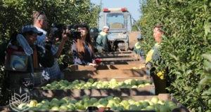Красногвардейский район Крыма - лидер по сбору урожая яблок