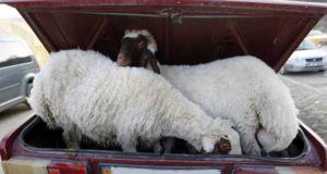 В Джанкойском районе украли… 13 овец… 2 года назад. Кража раскрыта