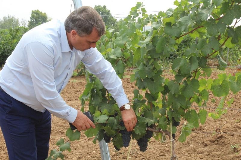 В Крыму завершается сбор винограда: собрано более 64 тысяч тонн «винной ягоды»